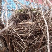 Amsel: Nest, Körnerpark