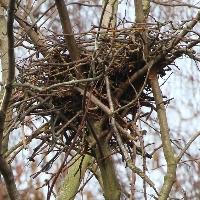 Nebelkrähen-Nest