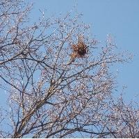 Eichhörnchen: Kobel, Britzer Garten