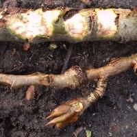Wildkaninchen-Fraßspuren