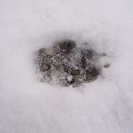 Rotfuchs: Trittsiegel, Britzer Garten