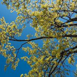 Essbare Baumblüten